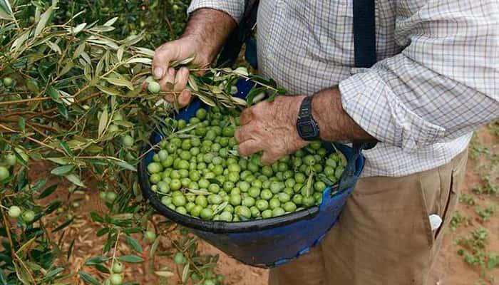 Buscan Peones agrícolas para la Campaña de recogida de aceituna en Jaén