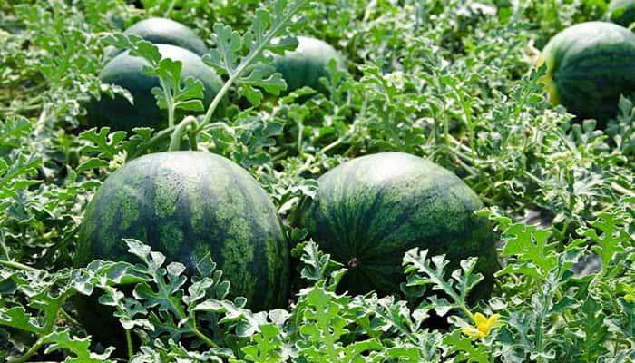Oferta de Empleo de Peones agrícolas para la campaña de la sandía y lechuga en Cúllar